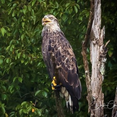 This is not a mature Bald Eagle but also not completely a juvenile. It is rare that I get to see a Bald Eagle in this stage.