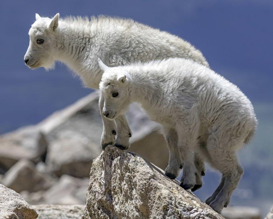Junior Mountain Goat 007
