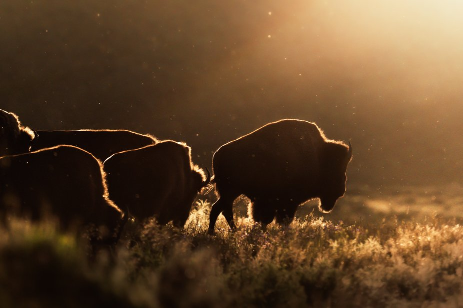 An American Bison leads the herd in Lamar Valley during golden hour.