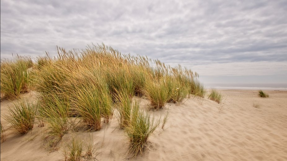 Tall grass growing in the sand beaches on the coast of Oregon...