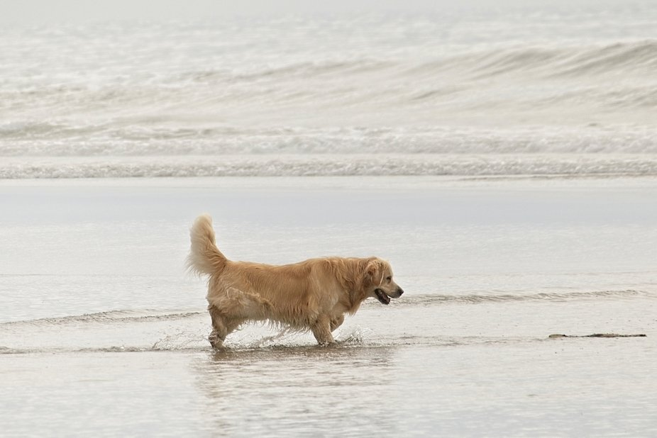 A dog is retrieving a stick thrown into the ocean with the waves close by...