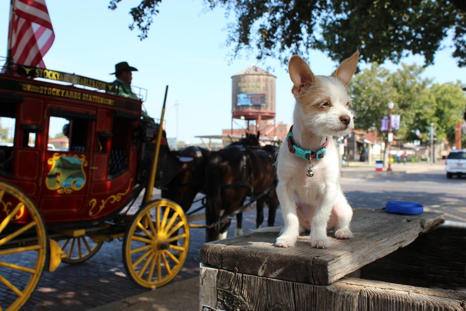A wise looking dog stares on as a wagon goes by at the Fort Worth Stock Yards in Texas