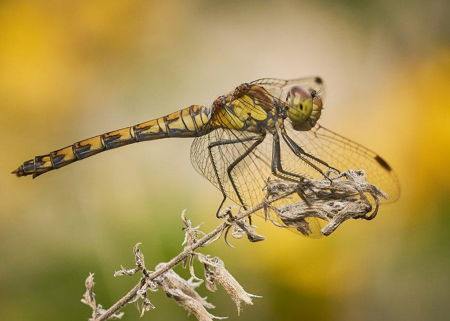Es ist immer wieder faszinierend Libellen beobachten zu dürfen.