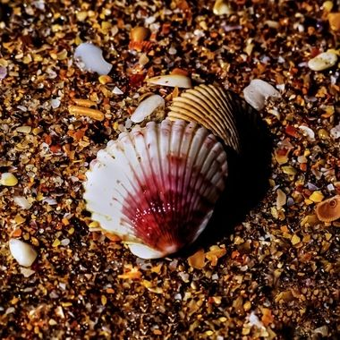 Ruby Colored Shell NW