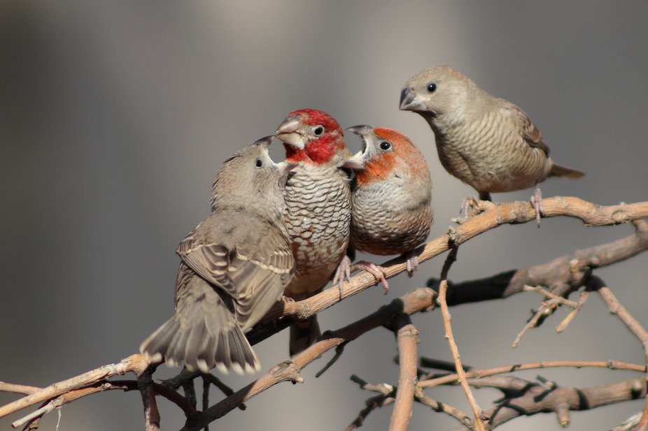 a family of Red-headed Finches having a discussion.
