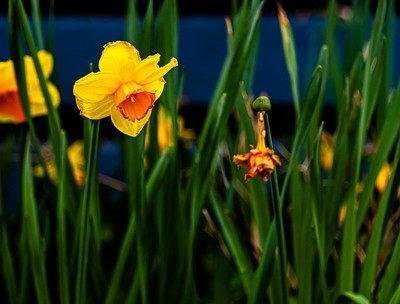 Daffodils dead and dying