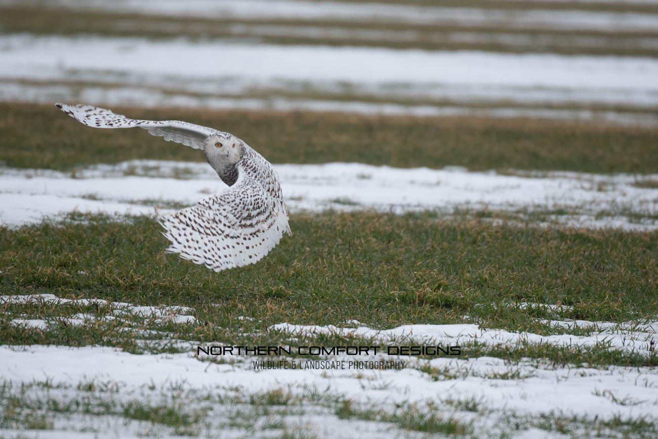 Snowy Owl-0224