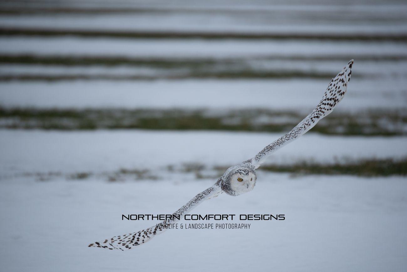 Snowy Owl-0226