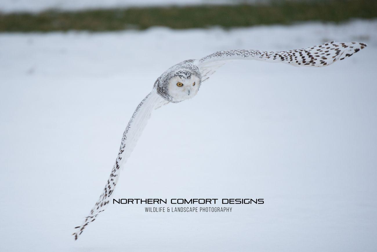 Snowy Owl-0228