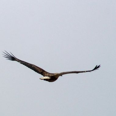 Young Sea Eagle in flight