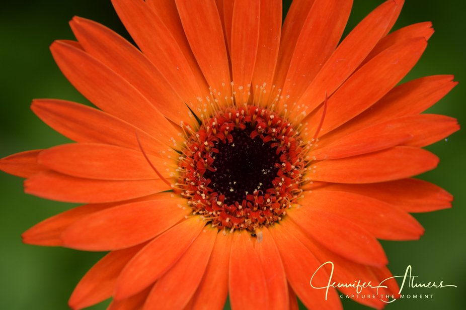 Up Close to a Gerbera