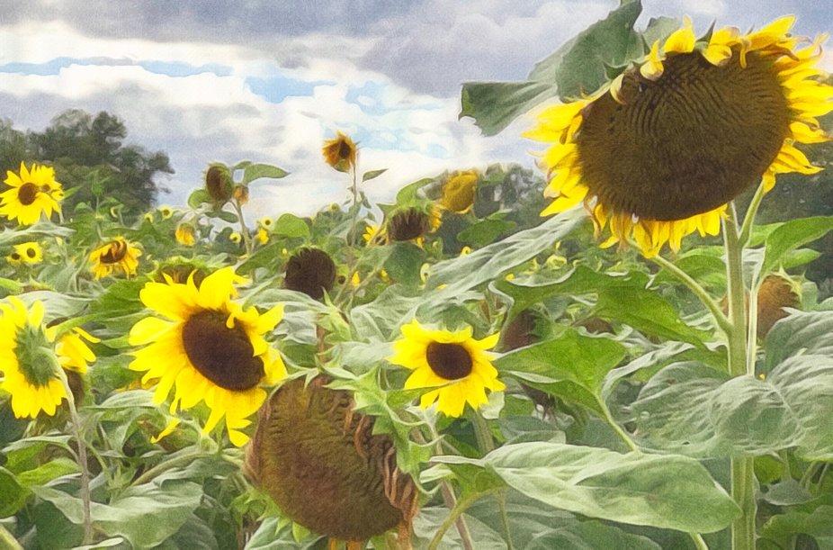 Brushstroke Verrill Farm Sunflowers