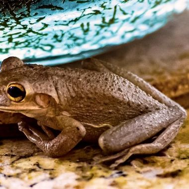 Cuban Tree Frog NW