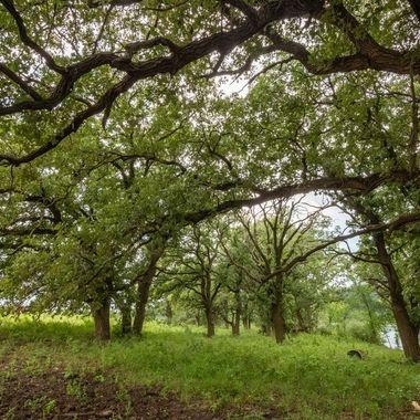 Oak Tree Forrest
