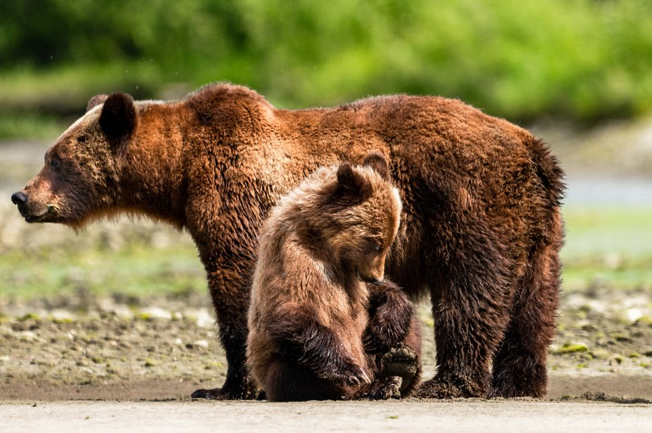 Deep in the Great Bear Rain Forest in Western Canada this July 2019. Mother bear and her little s...