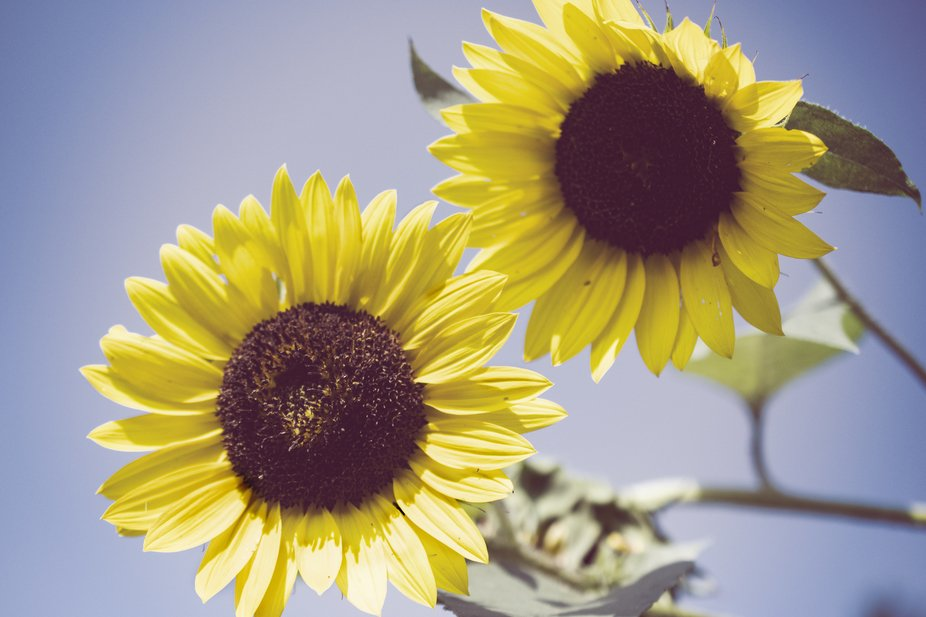 Aged Sunflowers Against Sky is a beautiful floral nature photograph of two large bright yellow Su...