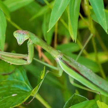 Found this Praying Mantis in the garden this morning. _DSC5994