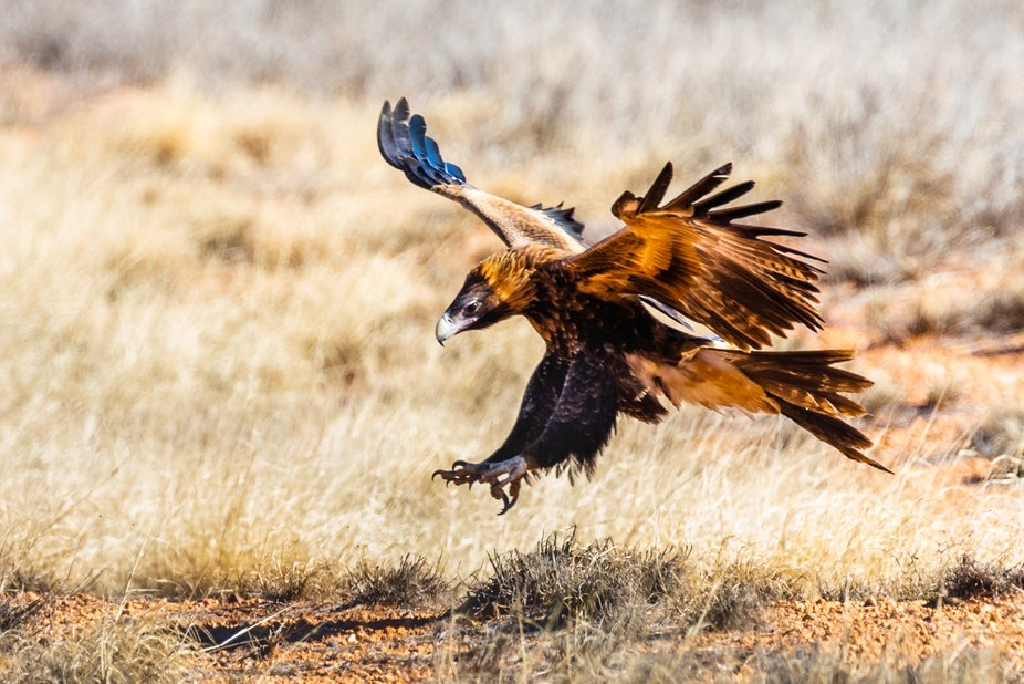 Taken on road south of Alice Springs, where eagles had congregated around a dead kangaroo on the ...