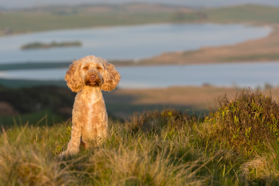 Buddie the cockapoo up in the Lomond hills, Fife, Scotland