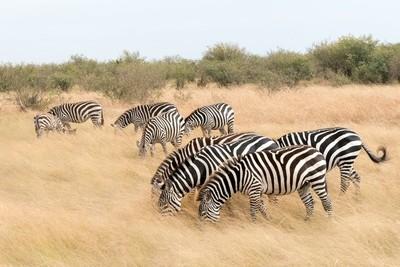 Zebras feeding