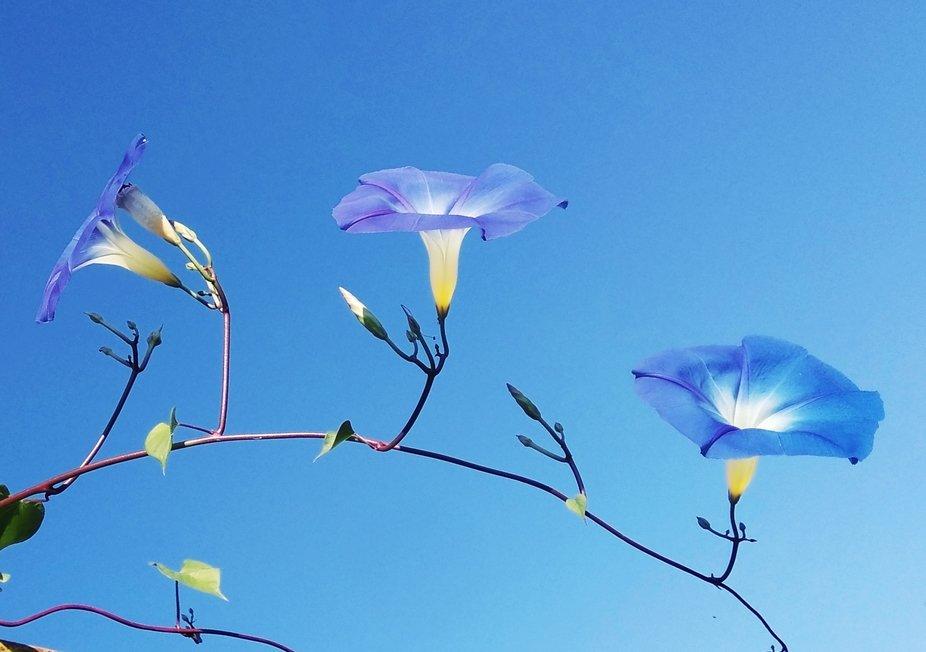 Blue flowers on blue sky...