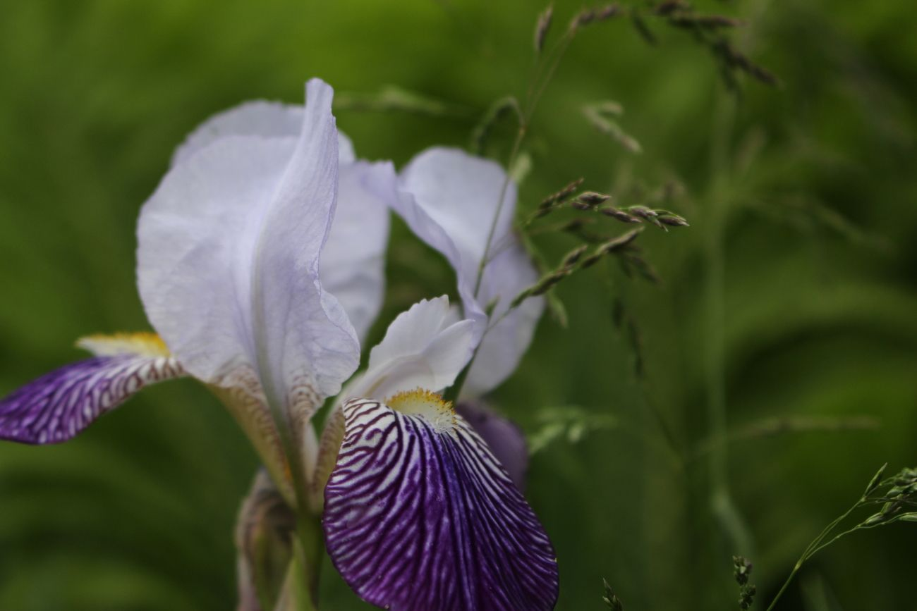 Iris in full bloom - late July 2019. Garden image from my home in Brantford, Ontario.
