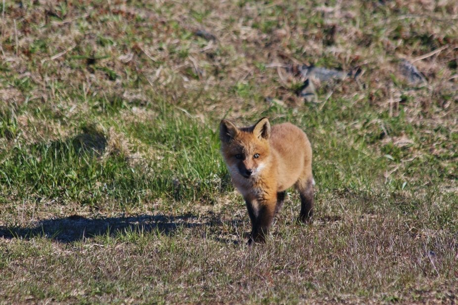 Fox cub watching Momma