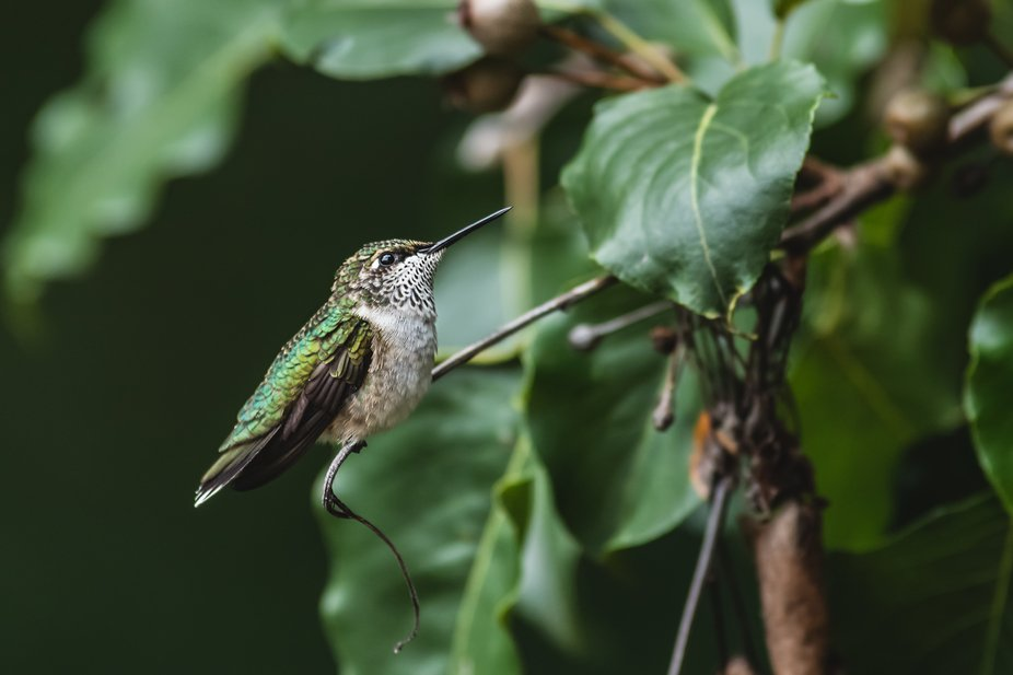 Female ruby-throated hummingbird.  Canon 6D MKII, 600mm, ISO 1600, f/8, 1/400th sec with no flash.