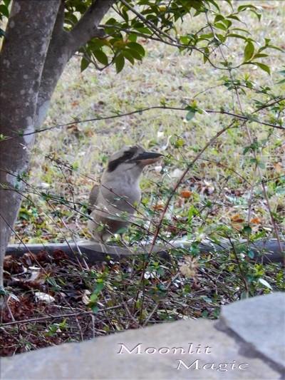 Kookaburra in the Front Garden