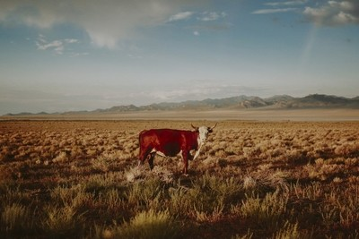 Nevada Cow Near Area 51