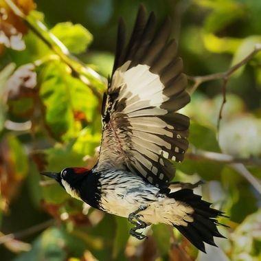 Acorn Woodpecker DSC02944