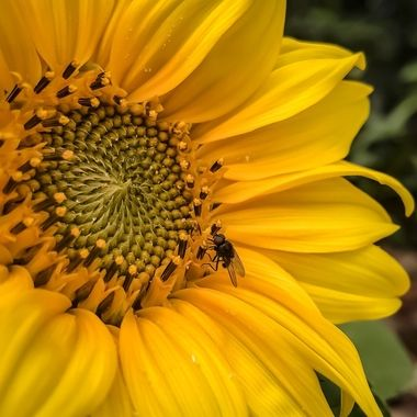 The sunflower and the fly