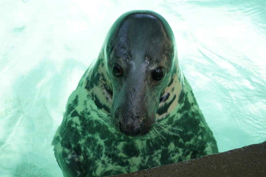 Went to the rescue centre at the Niagra Falls Aquarium and saw this beautiful seal.  Just had to take several shots.