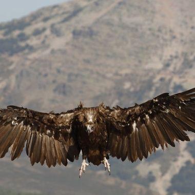 Buitre Negro (Aegipius monachus) , el ave de mayor envergadura de toda europa,frenando en el descenso. Desde un hide en La Alberca (Sierra de Francia-Spain).