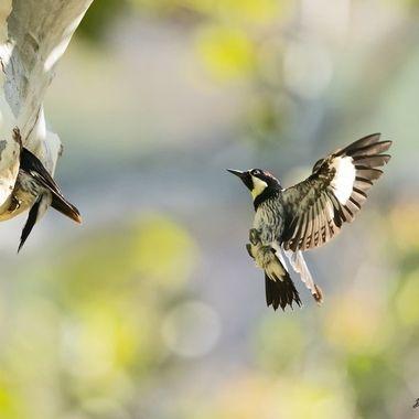 Acorn Woodpecker DSC03280