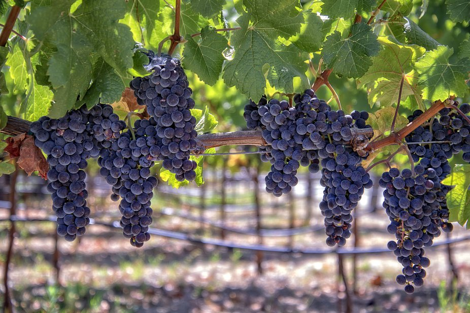 Grapes from Napa present full ripe deep purple plump grapes typical of August almost harvest.