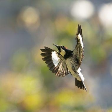 Acorn Woodpecker DSC03279