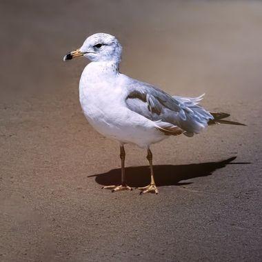 Sir Seagull NW