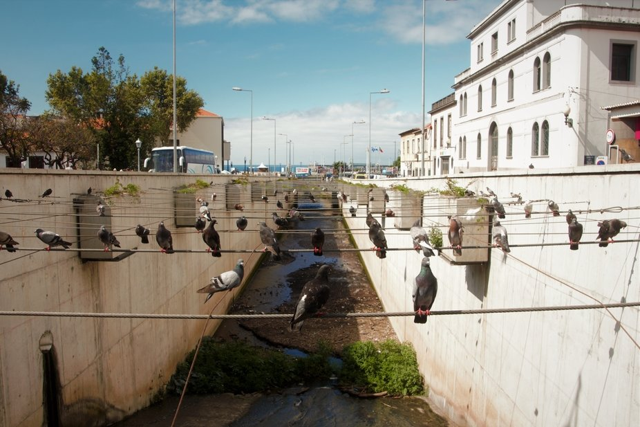 Pigeons on cables over a levada in Funchal, Maderia.