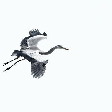 Garza real (Ardea cinerea), ave zancuda, acuatica,frecuenta los rios y embalses. En clave alta (Sobreexposicion del fondo). Laguna de Cervera (Salamanca-Spain).