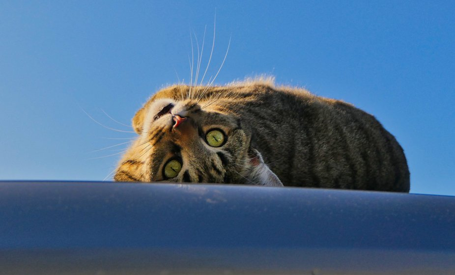 Cat on a hot tin roof. Van roof that is....