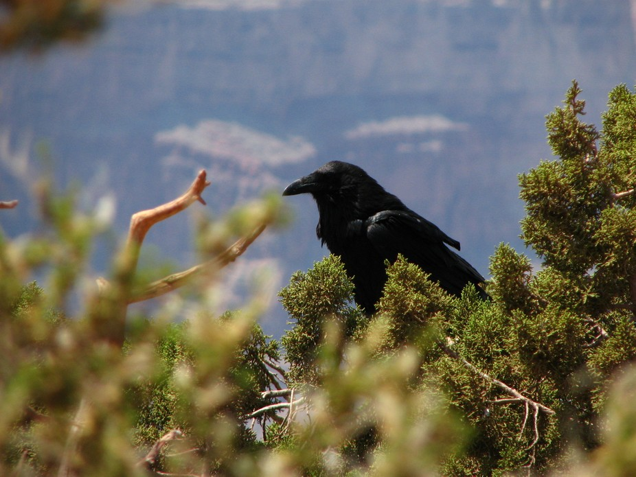 This raven was perched at the edge of the Grand Canyon, surveying the view below.