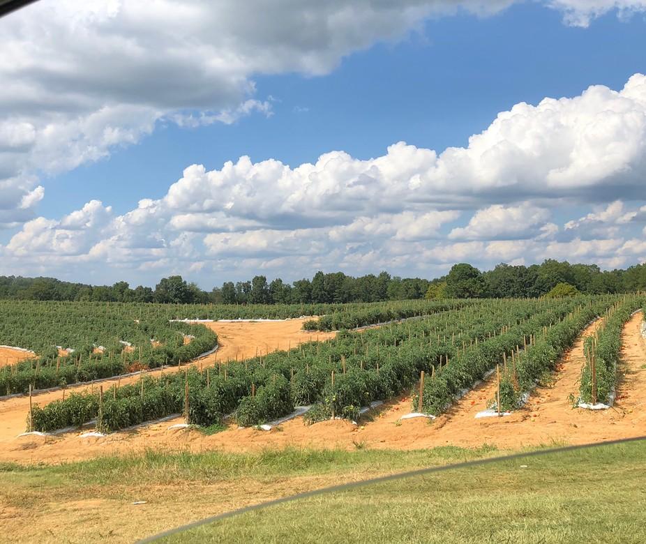 Tomato fields, Pine Mountain, Alabama