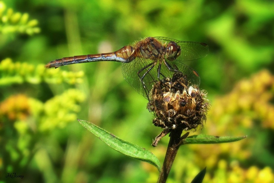 Dragonfly hiding behind her wings