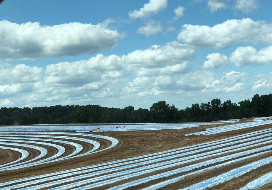 Tomato Fields: Seeded