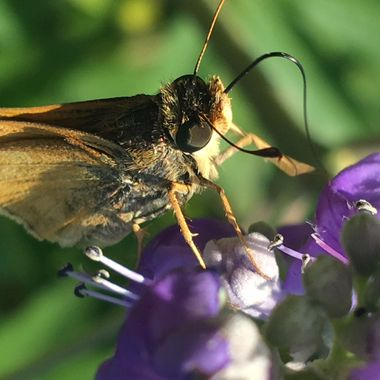 riny Butterfly
