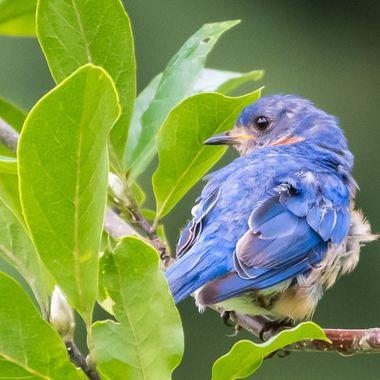 Male Bluebird posing  _DSC0179