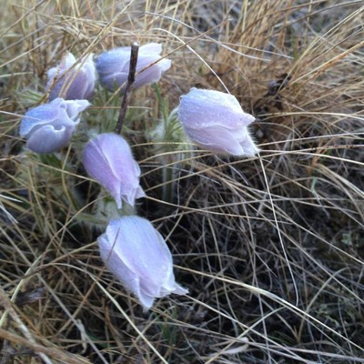 Prairie Crocus Capture