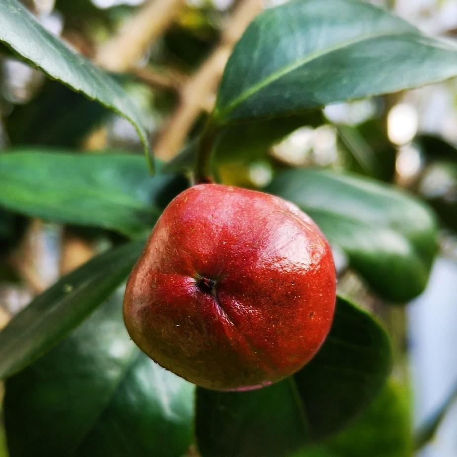 Rododendronfrucht