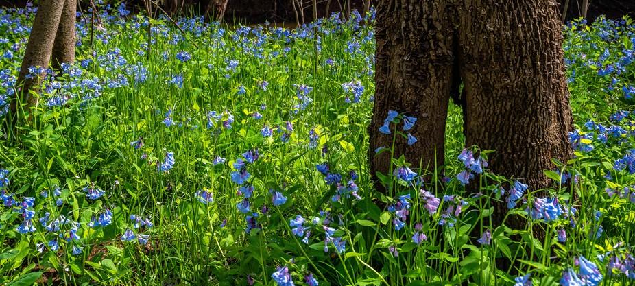 Bluebells at Bull Run Regional Park_April 2019-2